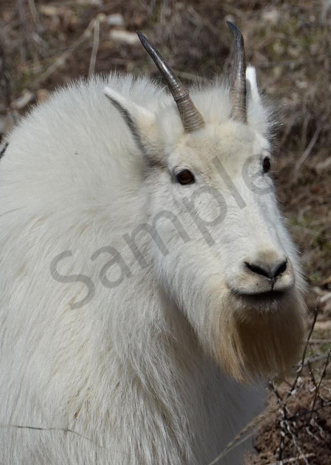Old Bill Goat.Jpg Photography Art   Swan Valley Photo