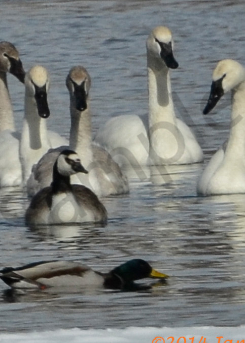 Swans Geese Ducks.Jpg Photography Art | Swan Valley Photo