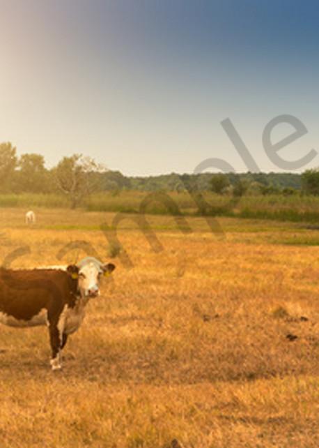 Cow Sunset Art   demofineart