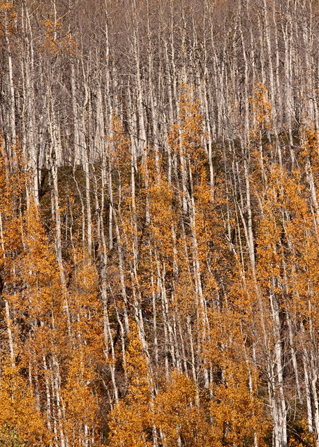 Forest abstract with Colorado fall color