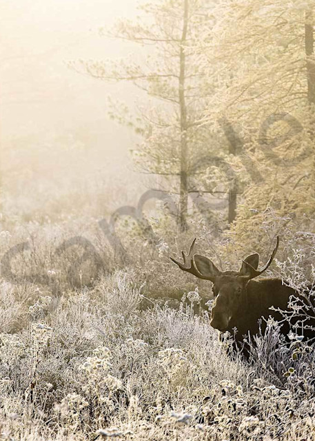 Frosted Moose