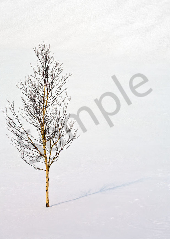 Siberia Birch Art | Scott Cordner Photography