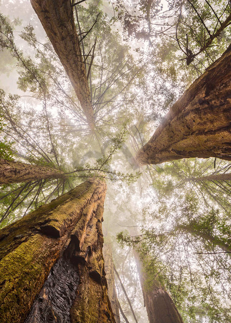 Giants Of The Forest Art | Andrew Collett Photography
