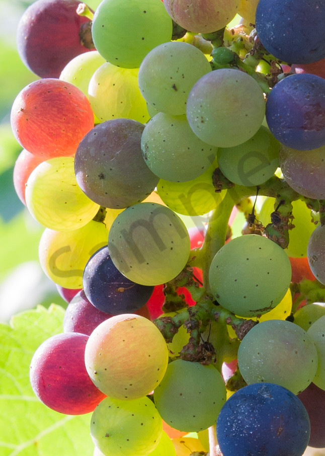 Vineyard Wall Art: Rainbow Grapes