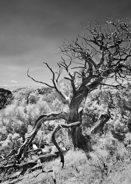9443 Cedar Tree Black Canyon Of Gunnison Art | Cunningham Gallery