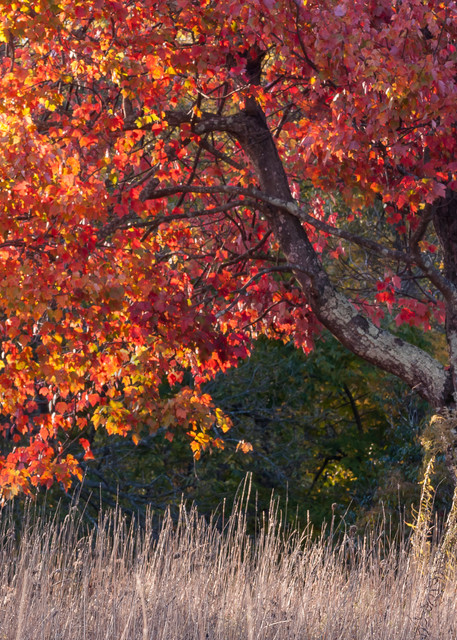 Tree Wall Art: A Wise Old Maple Tree