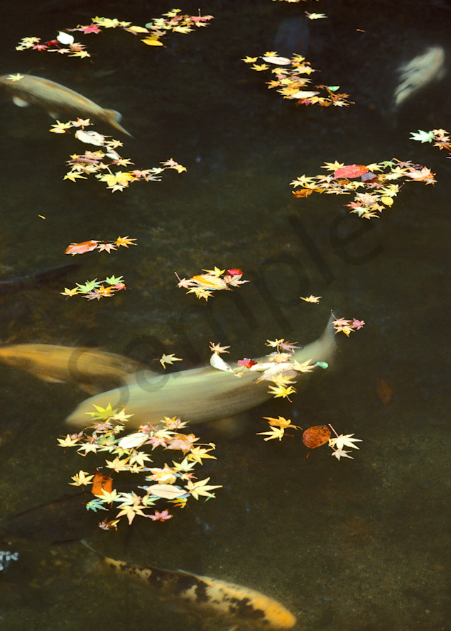 Carp and maple leaves, Sanzen-in Temple, Kyoto, Japan