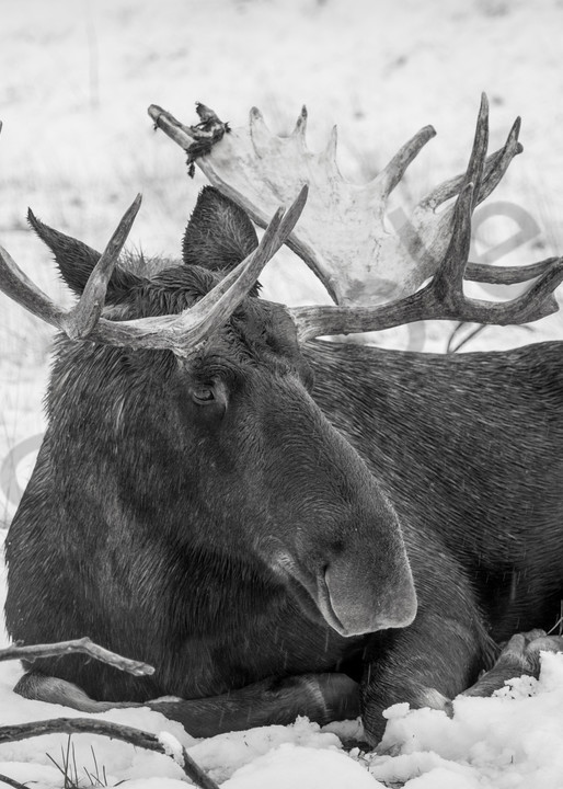 A bull moose resting during Alaskan snow storm - fine art photography prints -
