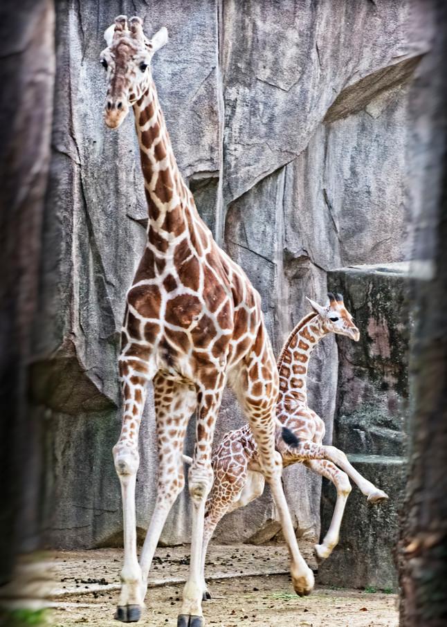 Giraffe Play Photography Art | JP Sullivan Photography, Inc.