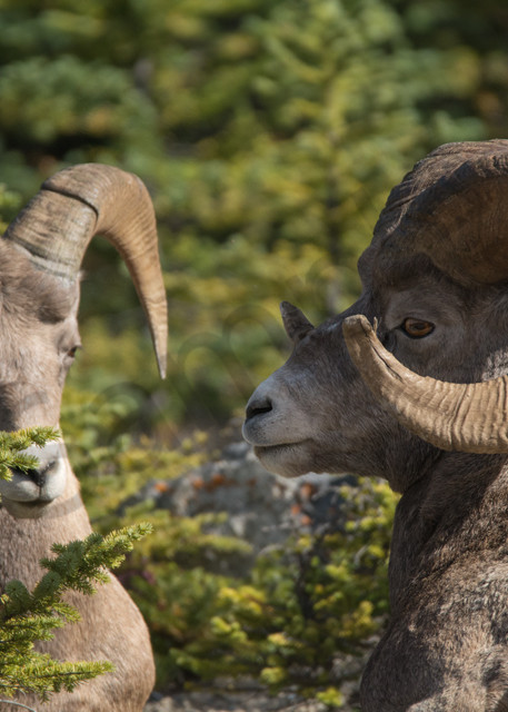 canada, alberta, lake louise, grizzly bear, black bears, baniff national park