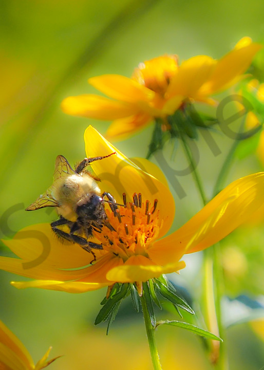 Bee busy at work - art prints - photographs - JP Sullivan