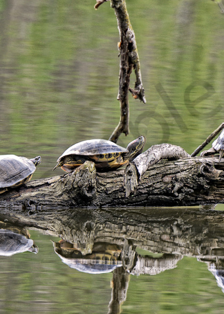 Turtles - follow the leader - lake marmo