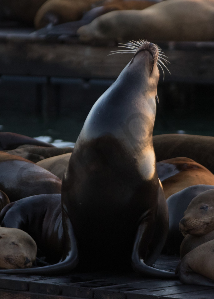 Sea Lions on Pier 39 at Sunset Photo