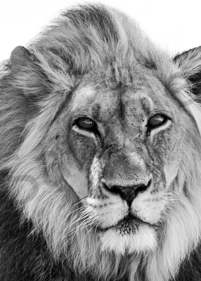 Close-up of African lion in black and white