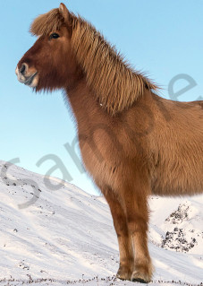 Panorama of three Icelandic horses in the snow, photograph as art