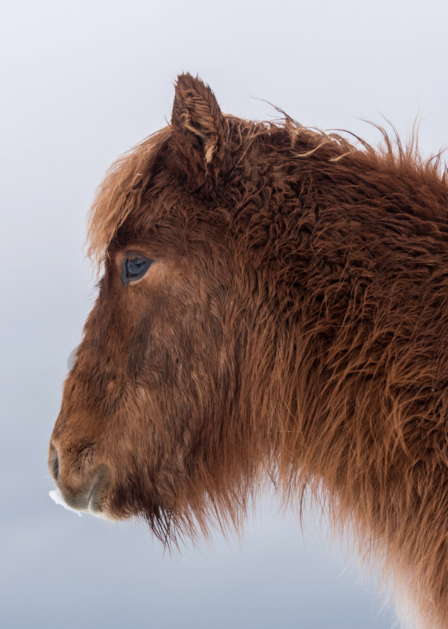 Profile of brown Icelandic Horse, in photograph art
