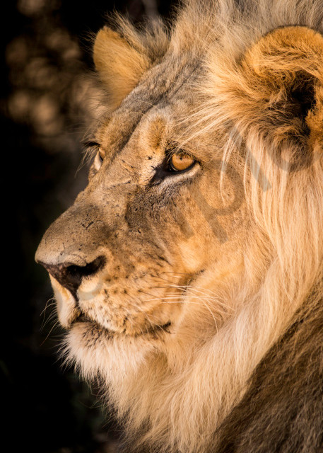 A male lion with large mane from side view, as a photograph art print