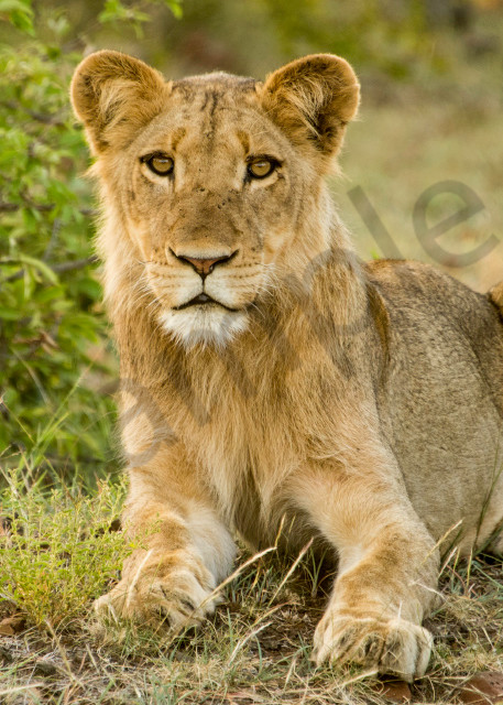 Young lion on the ground with African bush behind it in photograph art.