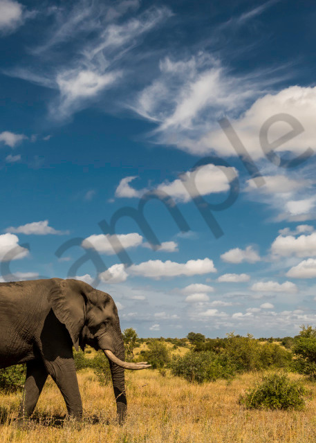 Big bull elephant in side view walking in savannah as art photograph print
