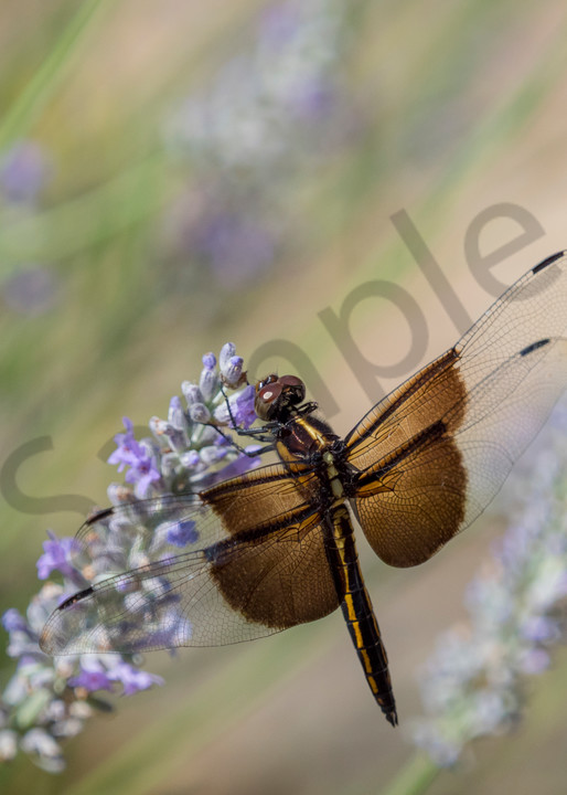 dragonfly - summer flower - photograph by JP Sullivan Photography - fine art prints