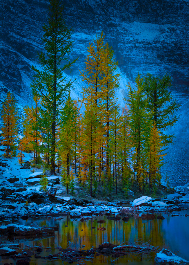 Larch Trees in Banff. Canadian Rockies.