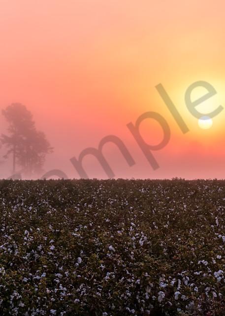 South Carolina Cotton Field Photograph for Sale as Fine Art