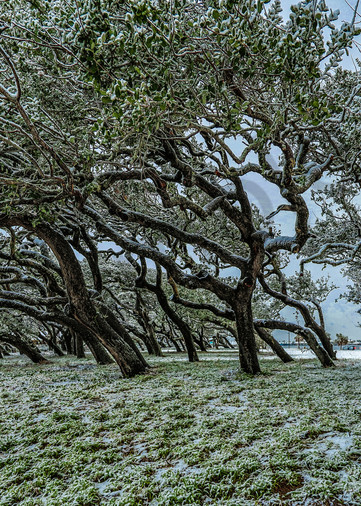 Snowswept Oaks Photography Art | John Martell Photography