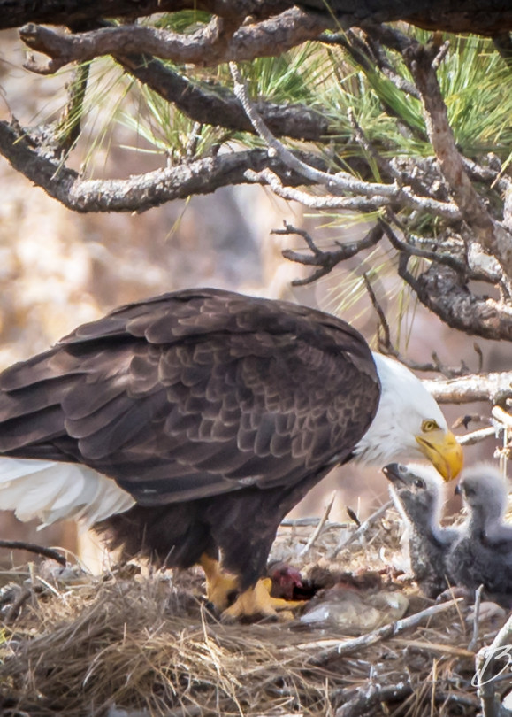 Mother eagle shares love with Eaglets | Barb Gonzalez Photography