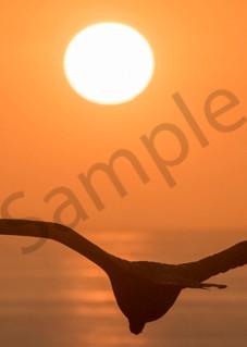Panorama of Frigate bird at sunset