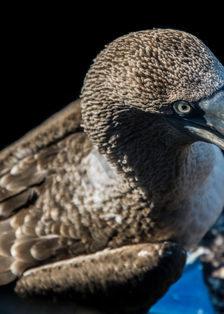 Blue footed booby from above