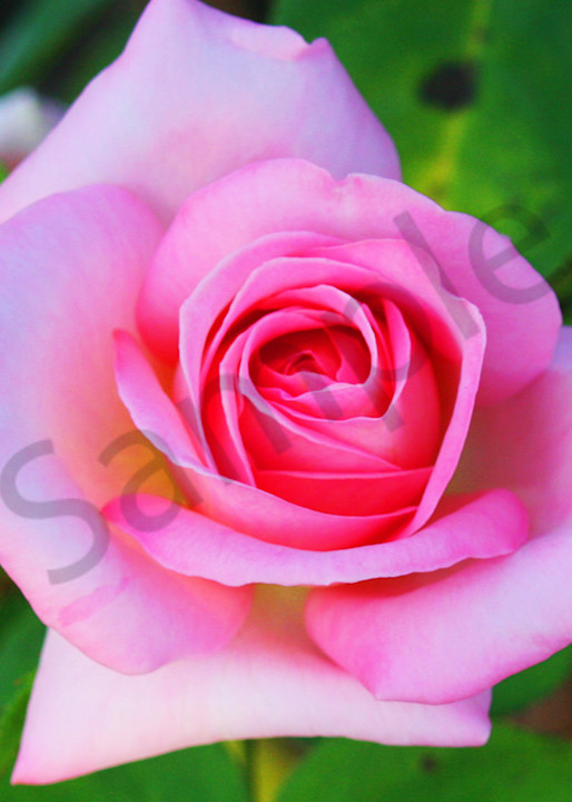 Hybrid Tea Rose|Fine Art Photography by Todd Breitling|Flowers|Todd Breitling Art