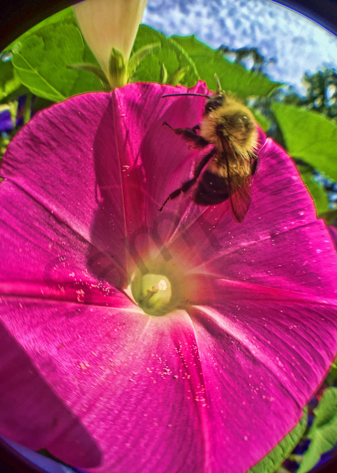 Bumblebee on Morning Glory|Fine Art Photography by Todd Breitling|Flowers|Todd Breitling Art