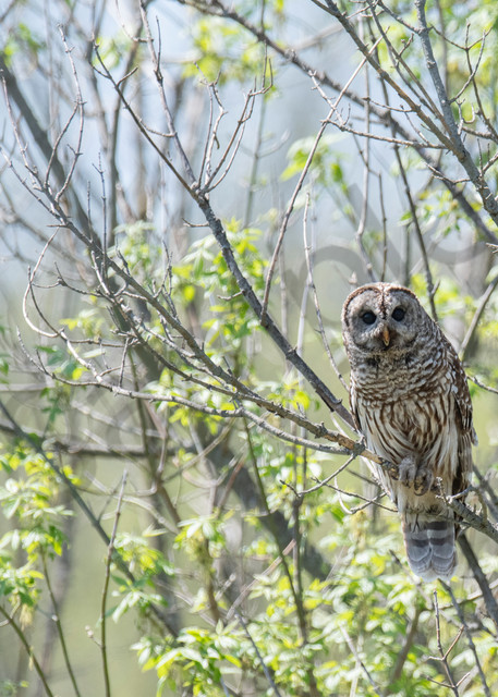 Barrel Owl perched - fine art photography