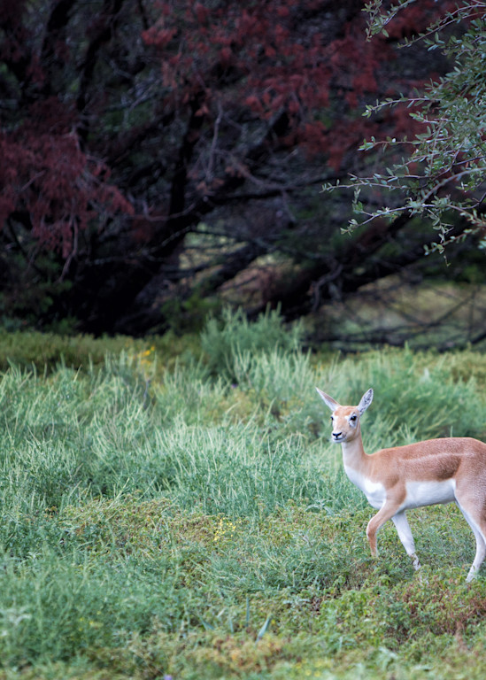 Axis Deer 0080 Photography Art | Bridget Karam Photography