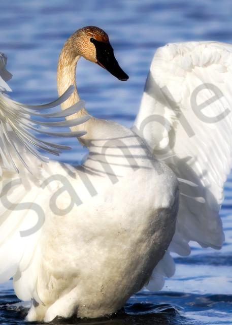 Trumpeter Swan | Robbie George Photography