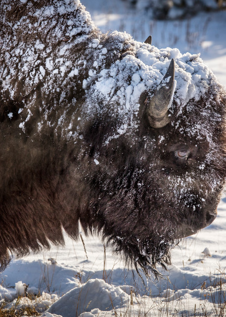 Bison and Snow - Yellowstone, Wyoming - By: Curt Peters