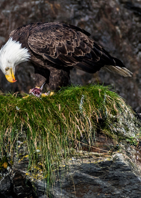 Bald eagle with food in mouth on top of nest