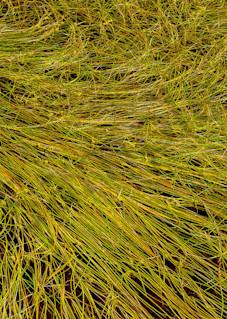 Grass Study Art   Scott Cordner Photography