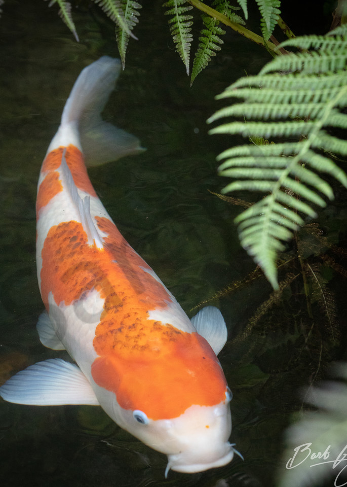 Perfect Koi and Fern photo for sale  by Barb Gonzalez Photography