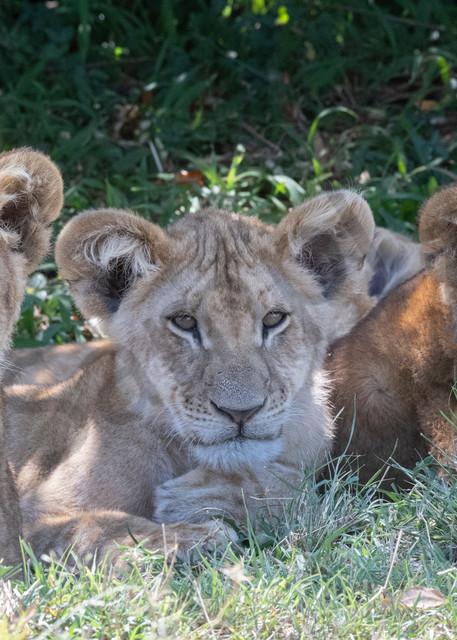 Lion Cub Trio - fine art photography - by JP Sullivan