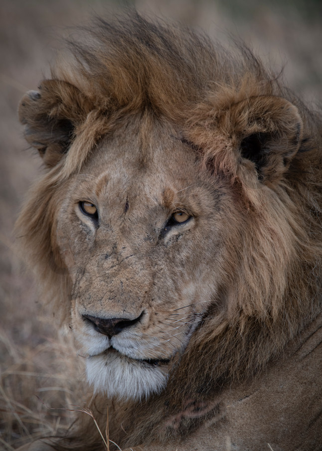 African Lion - Fine art photography - by JP Sullivan - Africa
