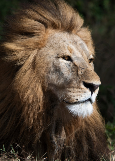 Lion - Africa - Fine art photography - By JP Sullivan Photography, Inc.