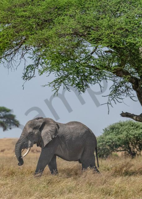 A massive African Elephant strolls through the Serengeti - fine art photography