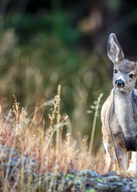 Inquisitive Baby Deer : Yellowstone, Wyoming - By Curt Peters