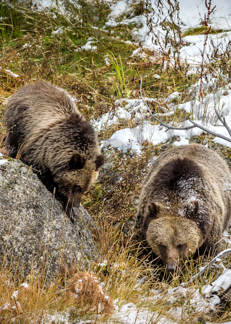 Momma Grizzly with Cub, Yellowstone, Wyoming - By: Curt Peters