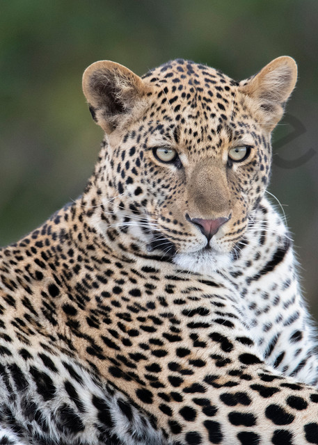An absolutely incredible leopard - photography fine art prints - JP Sullivan Photography