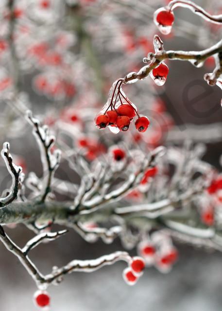Winterberry   Robbie George Photography