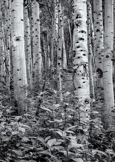 Aspens   Maroon Bell Wilderness, Colorado Photography Art | Namaste Photography