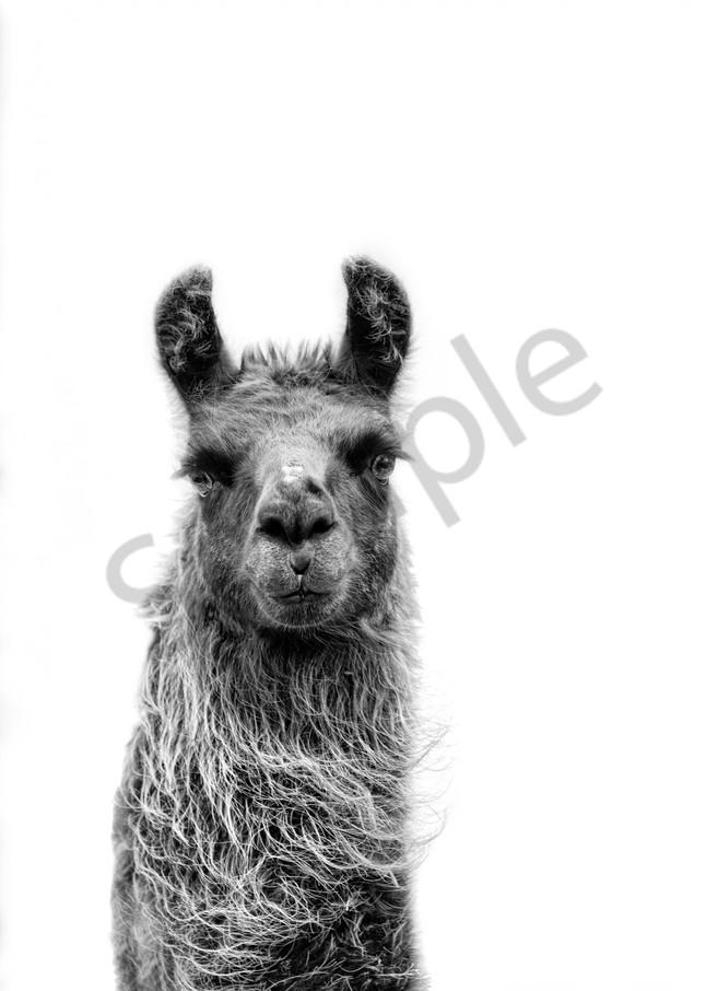 Llama Look At You
