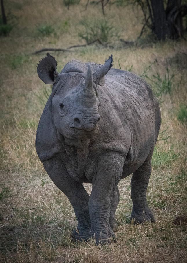 Black rhino - fine art photography prints - African Serengeti